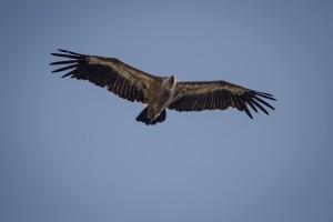 Observation des vautours à l'oeil nu